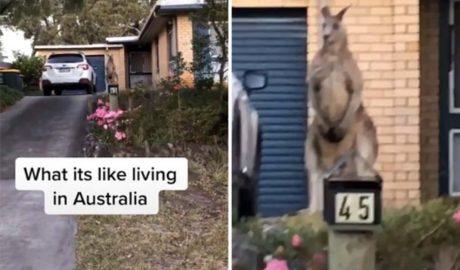huge kangaroo